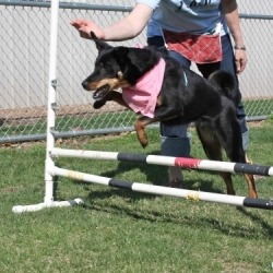 Daisy jumping in agility training