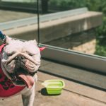 Dot the bulldog - Paws for a cause walk
